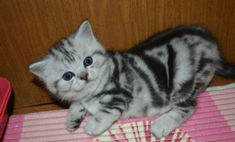 Британская короткошерстная, британские мраморные котята