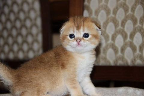 Скоттиш фолд (шотландская вислоухая), вислоухие котята золотой шиншиллы