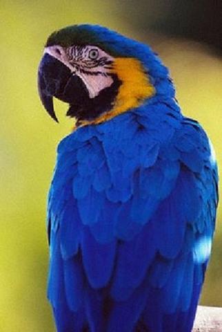 Сине-желтый ара, Купите попугая Ара Сине-желтый
