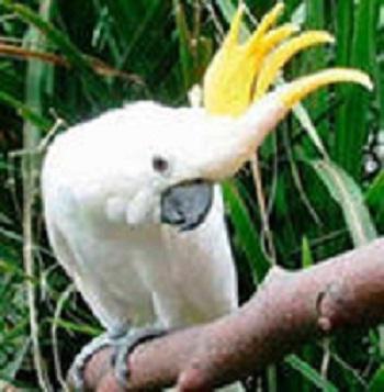 Желтохохлый какаду, Купите попугая Желтохохлый Какаду