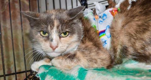 Без породы, Трехцветная кошка Лара ищет дом.